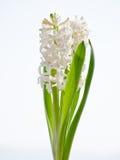 Witte hyacint Royalty-vrije Stock Afbeeldingen