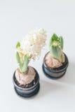 Witte hyacinten Stock Afbeelding