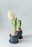 Witte hyacinten Stock Foto