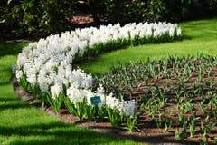 Witte hyacinten die op het groene gazon in het zonlicht groeien Royalty-vrije Stock Foto