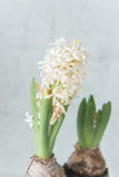 Witte hyacinten in zwarte pot Royalty-vrije Stock Afbeeldingen