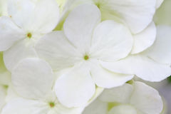 Witte Hydrangea hortensia royalty-vrije stock foto's