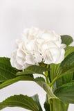 Witte hydrangea hortensia royalty-vrije stock afbeeldingen