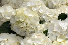 Witte hydrangea hortensia, achtergrond Royalty-vrije Stock Fotografie