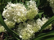 Witte hydrangea hortensia weinig lam Royalty-vrije Stock Afbeelding