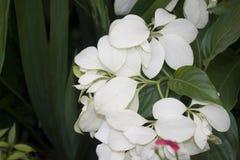 Witte Hydrangea hortensiabloem bij Tuin stock afbeelding