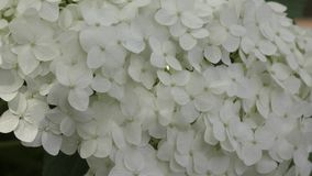 Witte hydrangea hortensiabloemen stock footage