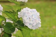 Witte hydrangea hortensiabloemen Royalty-vrije Stock Foto