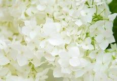 Witte hydrangea hortensiabloesems Royalty-vrije Stock Foto's