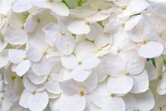 Witte hydrangea hortensiabloesems met dauwmacro Stock Afbeelding