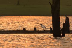 Witte ibis royalty-vrije stock afbeelding