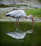 Witte Ibis Royalty-vrije Stock Foto's