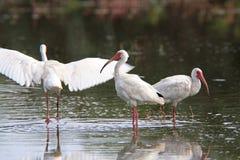 Witte Ibis Royalty-vrije Stock Afbeeldingen