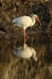 Witte Ibis (albus Eudocimus) Royalty-vrije Stock Fotografie