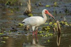 Witte Ibis (albus Eudocimus) Royalty-vrije Stock Foto's