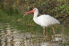 Witte Ibis die in de Ondiepte vissen royalty-vrije stock afbeelding