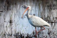 Witte Ibis die het Moeras jagen Stock Foto's