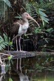 Witte Ibis, Jongere, die in een Vijver, Grote Nationale Cipres nadenken Stock Foto