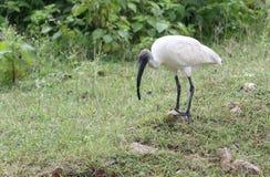 Witte ibis met zwarte kop Stock Fotografie