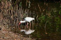 Witte Ibis op moeras Royalty-vrije Stock Afbeelding