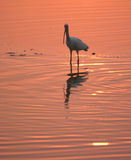 Witte ibis in water bij zonsondergang stock foto's