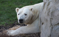 Witte ijsbeer Stock Afbeelding