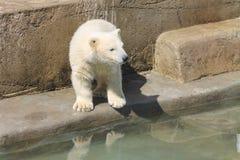 Witte Ijsbeer dichtbij een water stock afbeeldingen