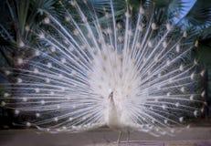 Witte Indische pauw die mooie ventilatorstaart tonen en op g dansen royalty-vrije stock afbeeldingen