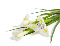 Witte iris Stock Foto's