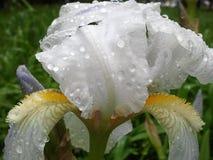 Witte iris Stock Afbeeldingen