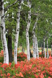 Witte Japanse Bomen Royalty-vrije Stock Foto