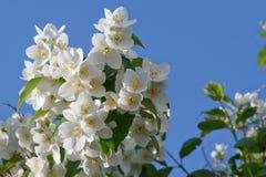 Witte jasmijnbloemen Royalty-vrije Stock Afbeelding