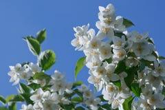 Witte jasmijnbloemen Royalty-vrije Stock Fotografie