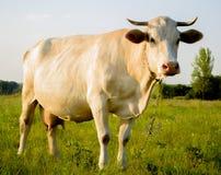 Witte jonge koe in platteland Royalty-vrije Stock Foto's