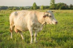 Witte jonge koe in platteland Stock Foto