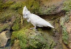 Witte Kaketoe Stock Foto