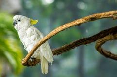 Witte kaketoe in een tak royalty-vrije stock fotografie