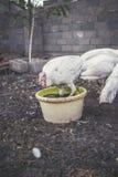 Witte kalkoenen Royalty-vrije Stock Foto