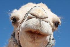 Witte kameel Stock Foto's