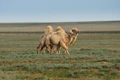 Witte kamelen Royalty-vrije Stock Foto's