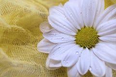 Witte kamillebloem op een gele achtergrond Royalty-vrije Stock Afbeeldingen