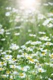 Witte kamilles in zonnige stralen De bloemen van de zomer Stock Afbeeldingen