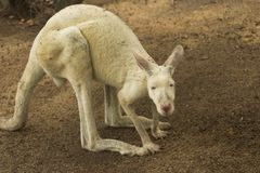Witte Kangoeroe Stock Afbeelding