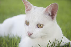 Witte kat royalty-vrije stock afbeelding