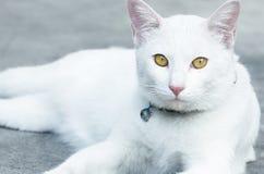 Witte kat Royalty-vrije Stock Afbeeldingen