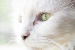 Witte kat Stock Afbeeldingen