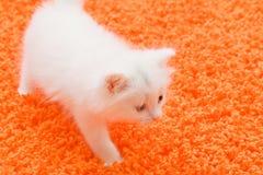 Witte kat bij oranje tapijt royalty-vrije stock afbeelding