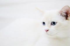 Witte kat die aan de linkerzijde kijken Stock Foto's