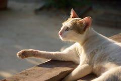 Witte kat die genietend avond van zonlicht liggen Royalty-vrije Stock Foto's