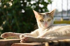 Witte kat die genietend avond van zonlicht liggen Royalty-vrije Stock Foto